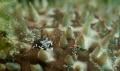 bumblebee shrimp on sea cucumber Nikon 50 macro, Ike housing, D90.
