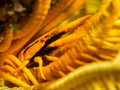 Yellow feather star squat lobster