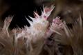 Soft Coral Crab  Portrait