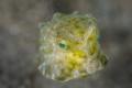 M U A C K  Baby cowfish  Longhorn cowfish/Lactoria cornuta  Anilao  Philippines. May 2014