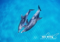 Mother and calf Atlantic Spotted Dolphins play in the open ocean