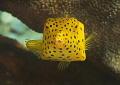 Yellow Boxfish   Ostracion cubicus    juvenile Raja Ampat