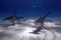 Great Hammerheads while on a dive expedition in Bimini  Bahamas