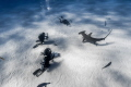 Divers photographing a Great Hammerhead Shark