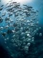 Heaven Sent. Longfin Batfish   Platax teira. Sail Rock  Thailand EM5 Panasonic 8mm iso200 f13 1/60