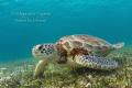 Green Turtle  Akumal Mexico