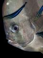 การอยู่ร่วมกันของสิ่งมีชีวืตสองชนิด ! Longfin Batfish - Platax teira. Sail Rock, Gulf of Thailand, EM5-Oly 60mm-1/250-f5.6-iso100-Inon D2000