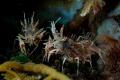 Tiger Shrimps in Tulamben