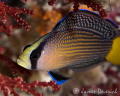 Spotted Dottyback