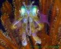 Iridescent Squid