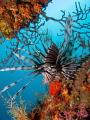 Lionfish at a ship wreck
