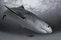 Divebomber A tiger shark off the coast of Grand Bahama