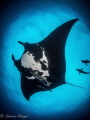 A gentle giant Chevron Manta ray glides by, hoping to feel bubbles on it's gills, they love bubble baths from divers!