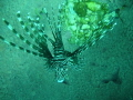 Here's a lionfish trying to hide in Neptune's cup