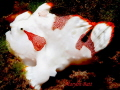 Small Juvenile Painted Frogfish, Dumaguete, Philippines