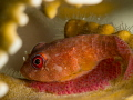 Red Clingfish   Acyrtus rubiginosus... with eggs! D800 with 105mm +10 subsee diopter