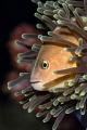 Skunk Anemonefish, Koh Haa