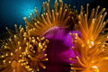 Huge Wakatobi anemone. I spent some time trying to frame and light this animal alone, resident clownfish and shrimp get all the attention..