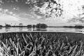 B&W mangrove