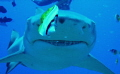 He s only go eyes for the fish  Lemon Shark in Polynesia