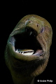 Scary or lovely     Giant Moray during a dental care