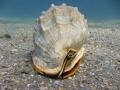 Helmet Conch