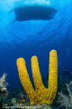 Yellow Sponge Grand Cayman East End