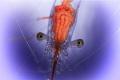 Cleaner Shrimp head