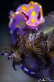 Ceratosoma amoenum (Sweet Ceratosoma) and Pteraeolidia ianthina (Blue Dragon) sharing a delicous Acisidian meal