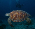 Turtle and Diver in Bonaire