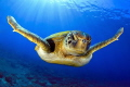 Green turtle under the sun in Canary Islands