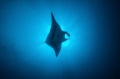 Soaring manta ray at San Benedicto Island in the Socorros of Mexico
