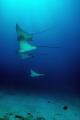 Mexico - Isla Mujeres - Eagle Rays