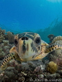 young hawksbill turtle checking out the dome