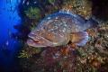 A Medes Island's big grouper
