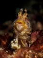 Allan, Allan, Allan, Allan ... ! Blenny - Parablennius sp. Chaloklum, Gulf of Thailand, EM5-Oly 60mm-1/250-f5.6-iso100-Inon D2000-Inon UCL 165-h2o tools +5x2