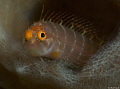 Got my eye on you!  Starksia hassi   Ringed Blenny at