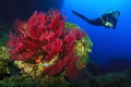 Medes Islands gorgonians with diver