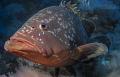 close encounter... curious big grouper comming near
