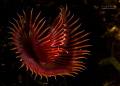 tube worm  -  serpula vermicularis