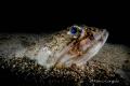 Mediterranean Lizardfish