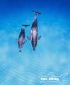 Floating on blue air.  Mother and calf Spotted Dolphin enjoying the sun and ocean