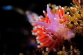 ~ Puple Lady ~ The common name for this nudibranch in Cape Town is Purple Lady. I wanted to created a scene with the