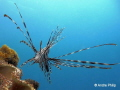 Approach to intercept    The imposing lionfish