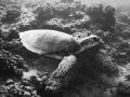 Green Turtle cuising the reef  Maunalua Bay  Oahu Hawaii