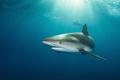 Caribbean reef shark in the dapple light  Fish Tales  Bahamas.   Subal underwater housing  Canon 5D mk2  Canon 8 15mm @ 15mm  f14  1/200s  ISO400  Inon Z240 strobe x2.