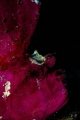 Purple leaf scorpionfish  Taenianotus triacanthus   Mayotte