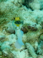 Yellowhead Jawfish. Spent some time and a number of dives watching for the eggs to develop