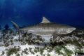 Tiger Shark Full Size