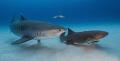 I've Got Your Back A tiger and nurse shark at Tiger Beach, Bahamas
